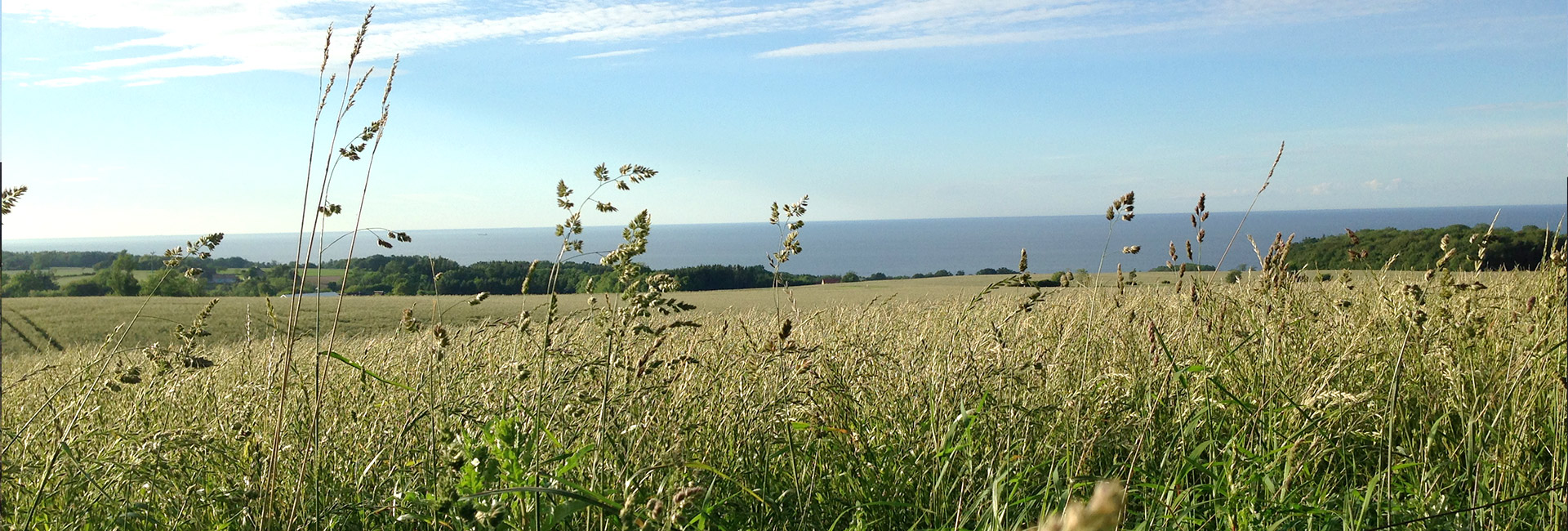 Stemningsbillede med bølgende kornmark og kig ud over havet