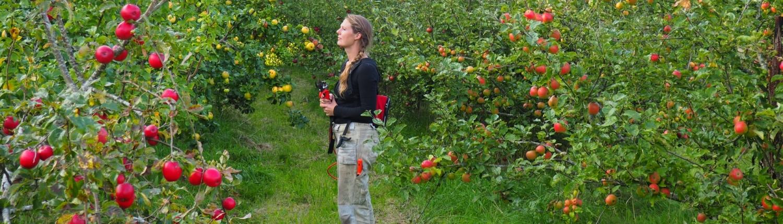 Bjerregården - i æbleplantagen