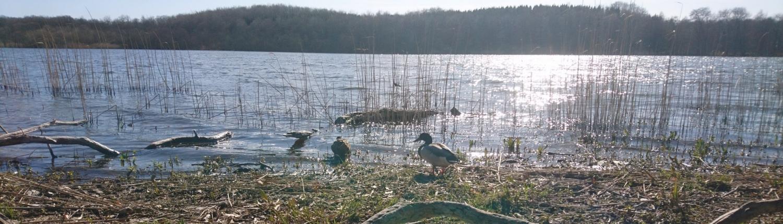 Ænder ved sø